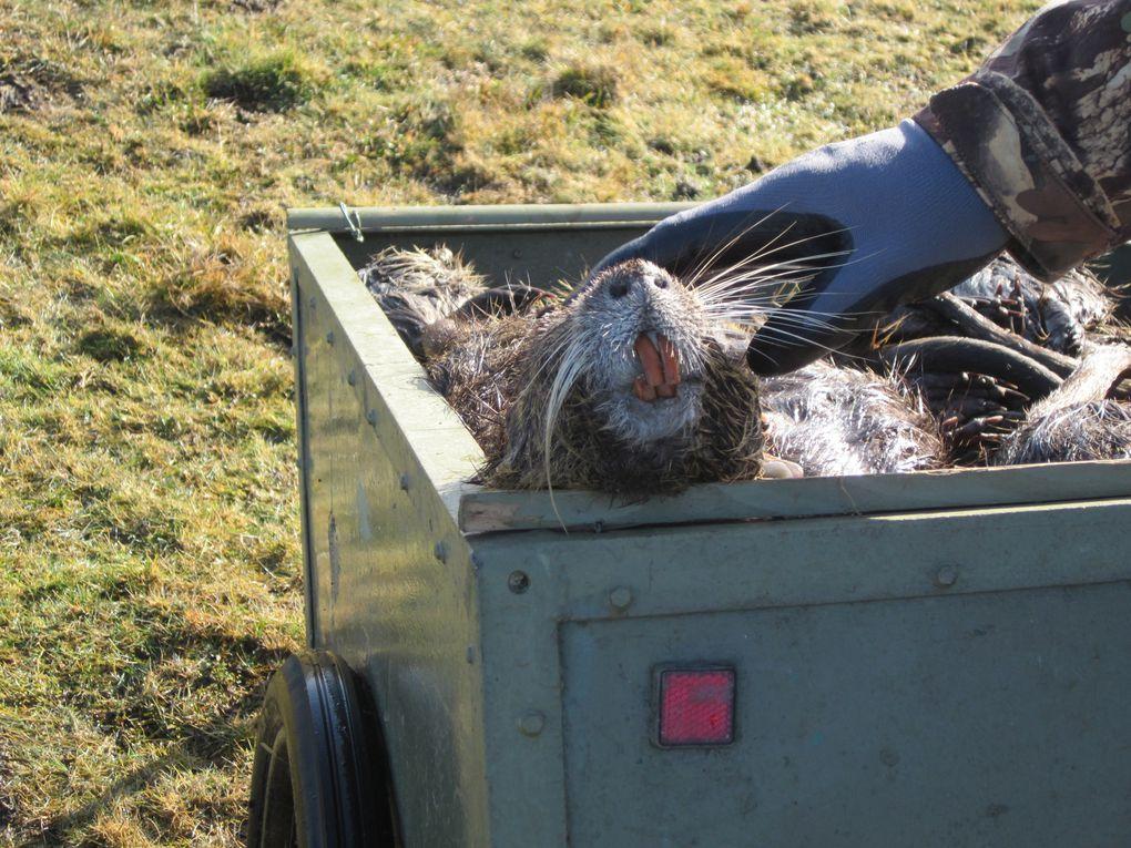 aprés notre belle journée de chasse.place a la récupération des cadavres le lendemain.tous les ragondins tué sont ramassé et evcauer sur un site pour étre enméné a l'écarissage par la fdgdon.