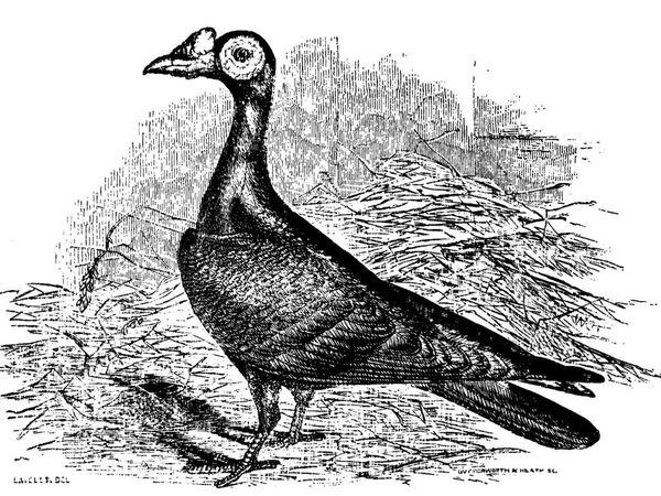 """Gravures présentant le pigeon """"English Carrier""""."""