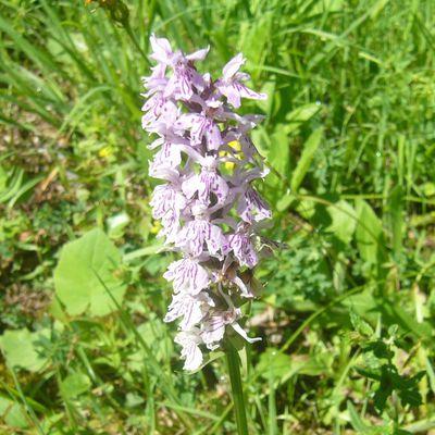 orchidée des Alpes pour la communauté flower power