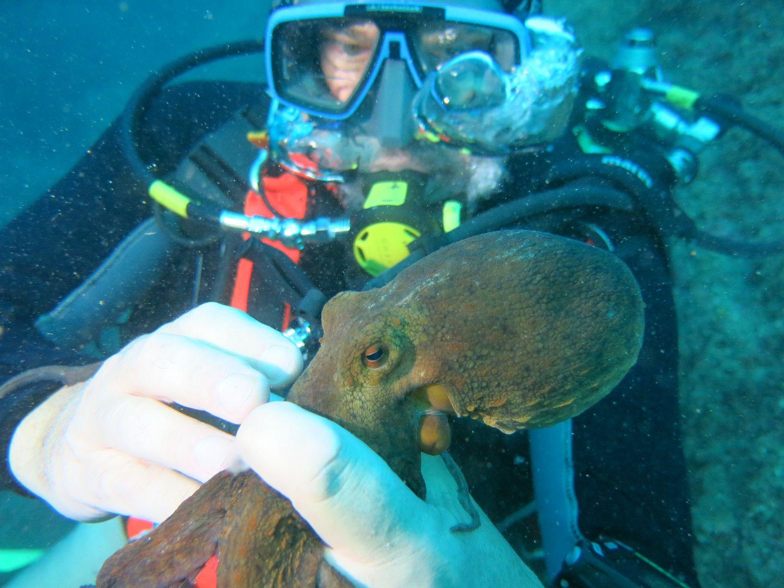 Pendant que d'autres se perdent et sortent loin de la zone de récup, Pascal joue avec un poulpe Octopus vulgaris. Les bras ou tentacules très souples, préhensiles peuvent porter jusqu'à 240 ventouses. Ces dernières constituées de parois musculaires cylindriques et d'un disque souple radié, assurent une adhérence parfaite sur tous les supports.  GF