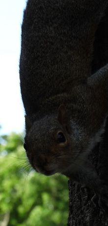 Les écureuils de Cape Town...