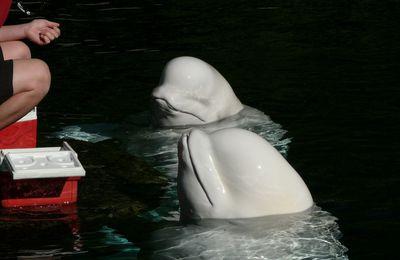 El primer Santuario de Belugas del mundo
