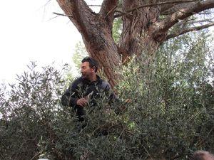 Fête de l'olivier à laBastide Marin