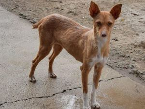 P:ARENITA une merveille de petite podenca de deux ans à adopter chez sos chiens galgos