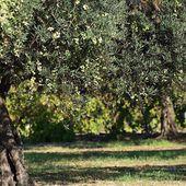 La bactérie tueuse d'oliviers détectée en France