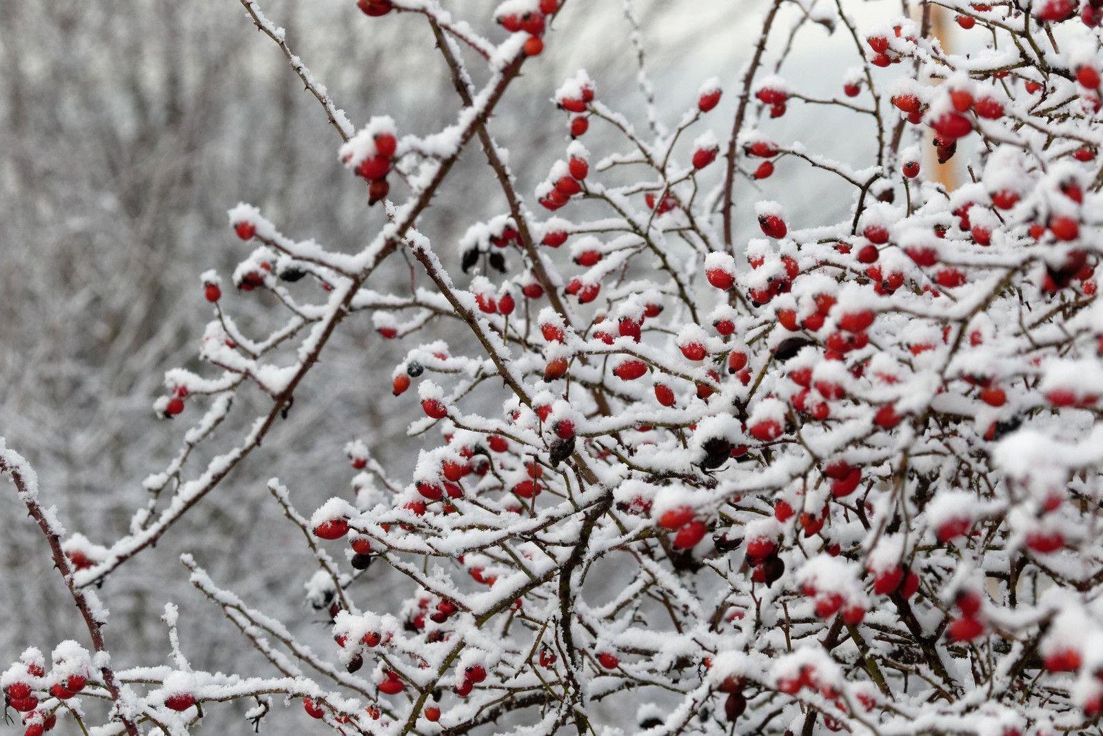 543 - Première Neige, les Pinsons se regroupent pour le banquet ! : 01/01/2021