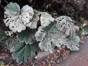 Poas - burns on the Gunnera and damage to the guardrail of the terrace following acid rain - photos of Carlos Cordero via VSF - a click to enlarge
