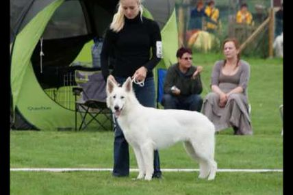 nationale d'elevage belge 2010 berger blanc suisse