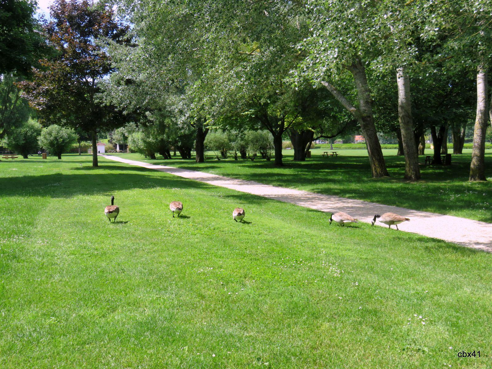 Les oies bernaches du parc Corbière, Le Pecq (Yvelines)
