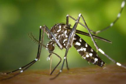 Moustique-tigre : quatre conseils pour se protéger! Attention, ils sont vecteurs de maladies comme la dengue, chikungunya etc... comment s'en protéger ? Conseils ci dessous :
