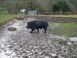 Bretagnolles un petit cochon noir frappe a la porte de lady galga