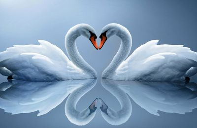 Cygnes - Lac - Couple - Amour - Photographie - Wallpaper - Free