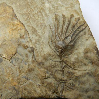 Clematocrinus retiarius Silurien Royaume-uni