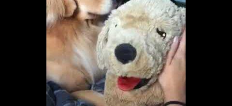 Ce chien est jaloux d'une peluche