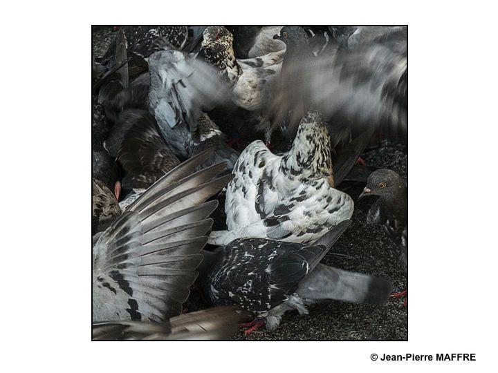 Malgré leur aspect banal, les pigeons, dans leurs mouvements nous offrent une beauté fugitive aux graphismes saisissants.
