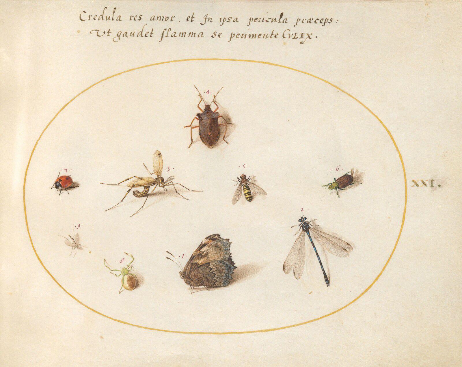 Les Odonates peints par Joris Hoefnagel dans Ignis (1575).