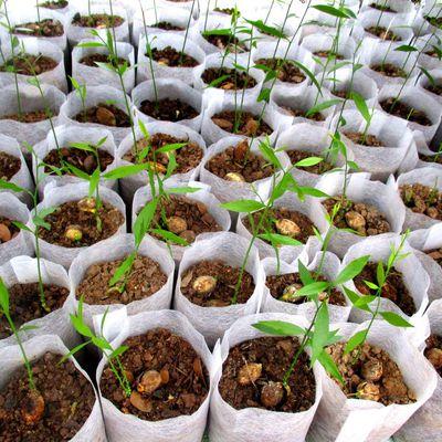 ผักหวานป่าเพาะเมล็ด กับถุงเพาะชำย่อยสลายได้ทางชีวภาพ