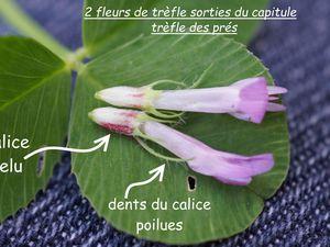 Exemples de sépales de fleurs de Fabaceae