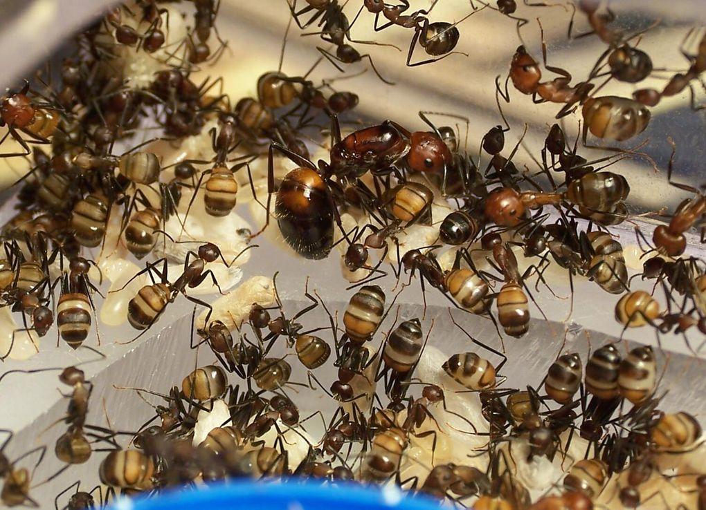 Album - Camponotus-nicobarensis