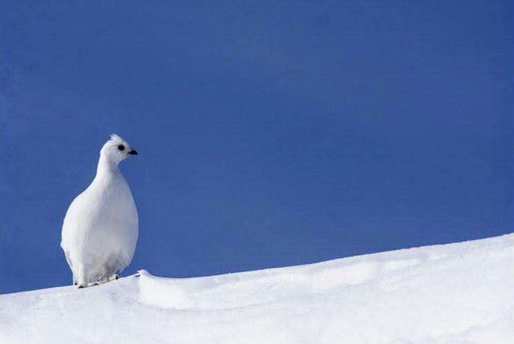 Le lagopède alpin est un oiseau d'origine arctique, donc très adapté au grand froid présent en altitude. Photo Geoffrey Garcel (Cliquez pour agrandir)