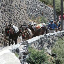 Les petits ânes de Santorin au travail
