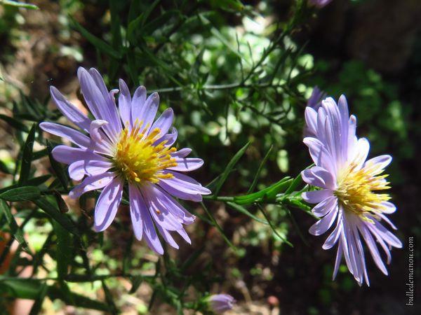 Les asters en fleurs