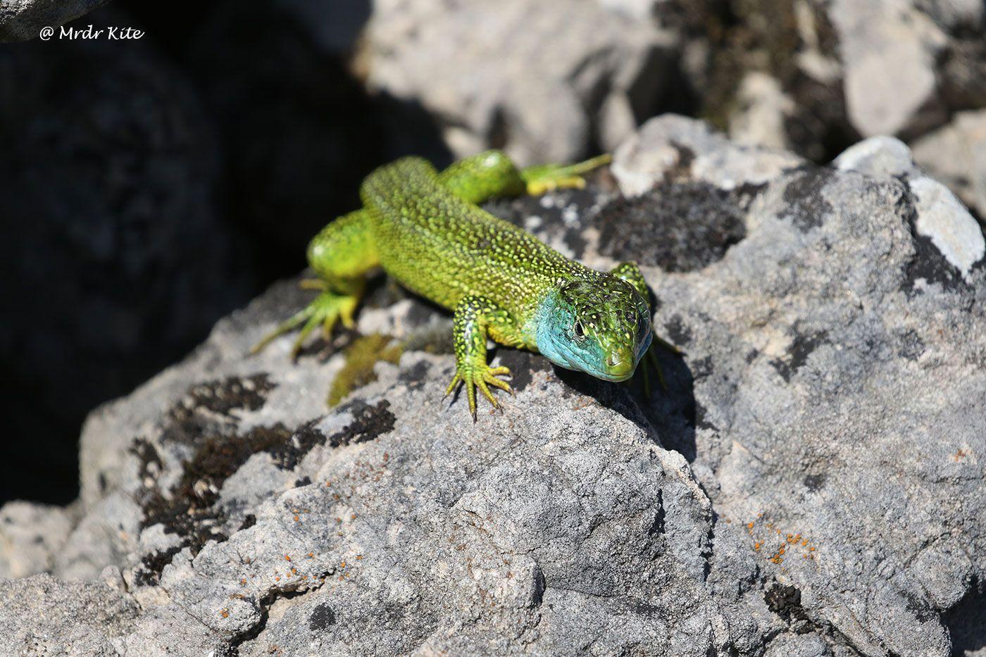 Lézard des murailles et lézard vert mâle