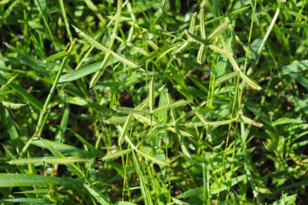 Une des herbes préférée des chevaux, le Dactyloctenium aegyptium. Il s'agit d'une herbacée très répandue qui se propage rapidement grâce à ses tiges rampantes, et qui forme des inflorescences facilement reconnaissables.