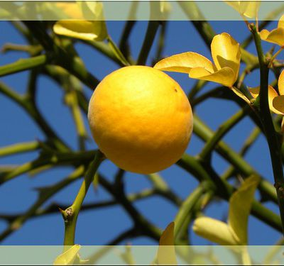 Les amis naturels de votre santé : Citron, Coing, Colchique