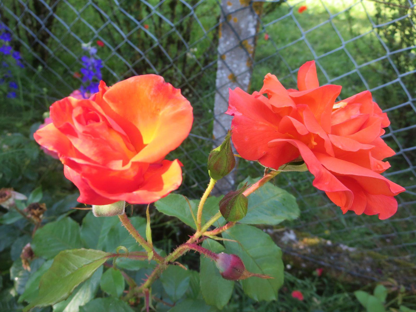 Quelques nouvelles roses, très lumineuses.