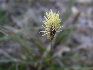 C'est  le Carex halleriana ou Laîche de Haller. Fréquent en Méditerranée, dans les lieux secs et calcaires.