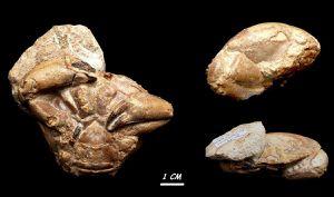 Crabe fossile de Vérone Italie.