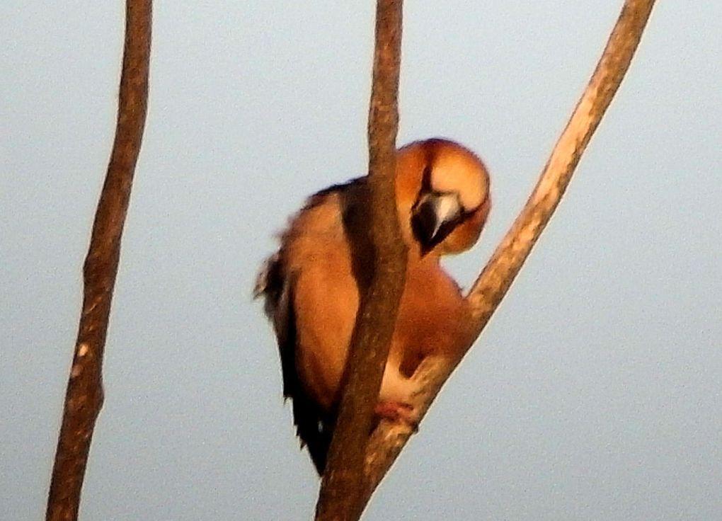 L'oiseau cubiste : le Grosbec casse-noyaux