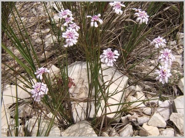 Les fleurs sauvages, des champs, des prés et des montagnes rencontrées au mois d'août dans le Verdon