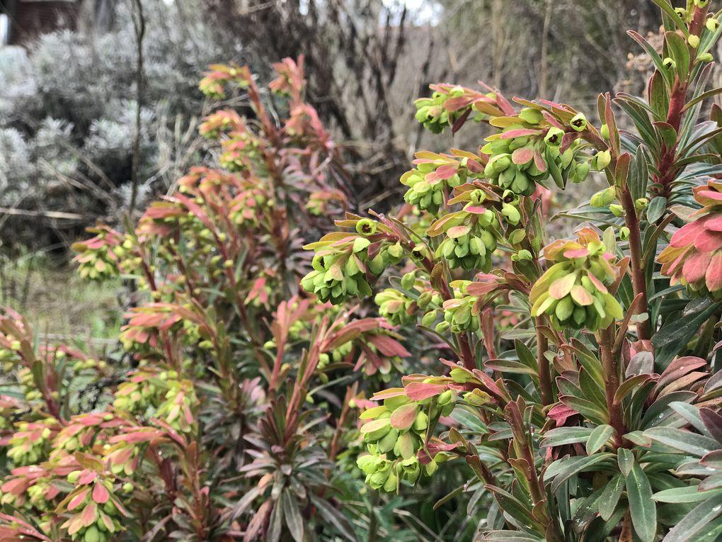 """Une petite sélection des Euphorbes que l'on peut trouver à la pépinière et dans le jardin. Toutes les euphorbes sont considérées """"espèces pouvant entraîner des réactions cutanéomuqueuses"""" dans ce présent arrêté."""