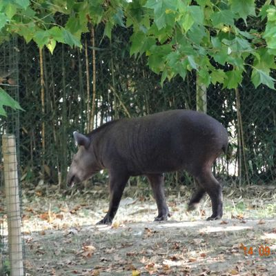 beauval septembre 2014 les tapirs - 45