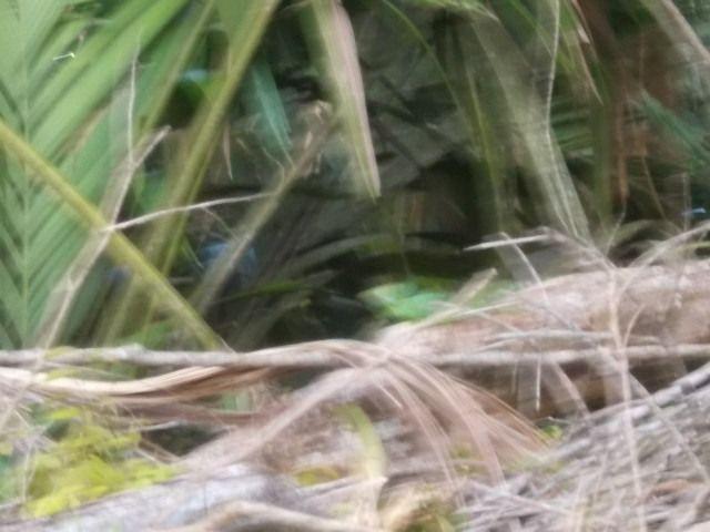 garcette, caiman, basilic, singes hurleurs, singes araignés, crocodiles,