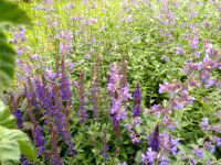 Salvia nemerosa 'superba bleue', la Salvia officinalis purpurascens, Salvia sclarea
