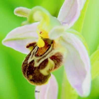 """""""Ophrys Scolopax..."""""""
