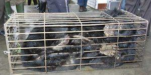 Granjas de Bilis: el drama de los osos en China