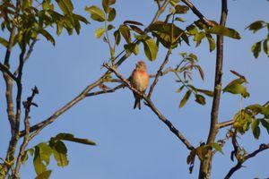 La Linotte, un oiseau des friches