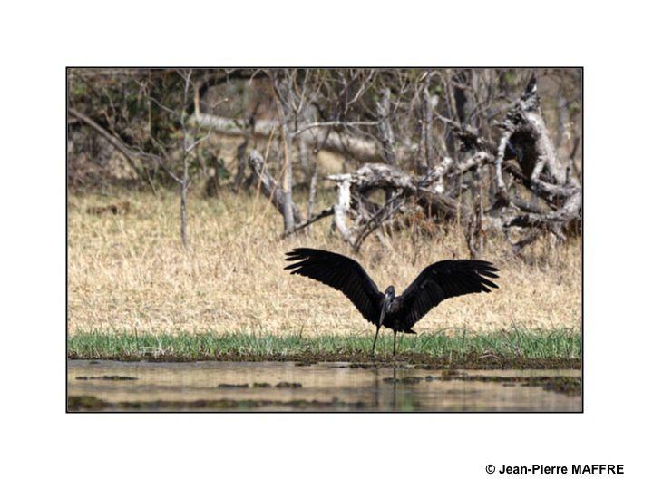 Les espaces du Botswana sont très bien préservés. Les rives fertiles des anciens lacs sont un lieu idéal pour les oiseaux.