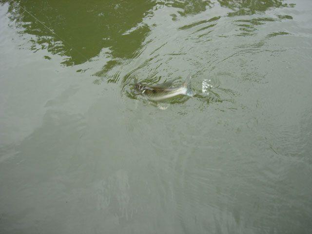 Quelques prises 2011 en Marne et dans le Grand Morin.