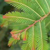 "Natura Plantes®: ""Amlaki"" - Cabinet Chrysalide"