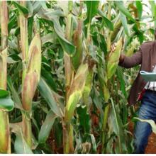 Sylvester Oikeh: Améliorer les conditions de vie grâce à des cultures saines