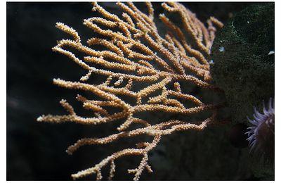 Anthozoaires : gorgonacés (gorgones)