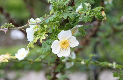 Rosa Omeiensis ou Sericea Pteracantha