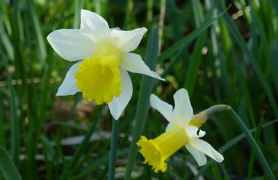 La jonquille, Narcissus pseudonarcissus