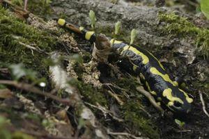 La salamandre à la TV !