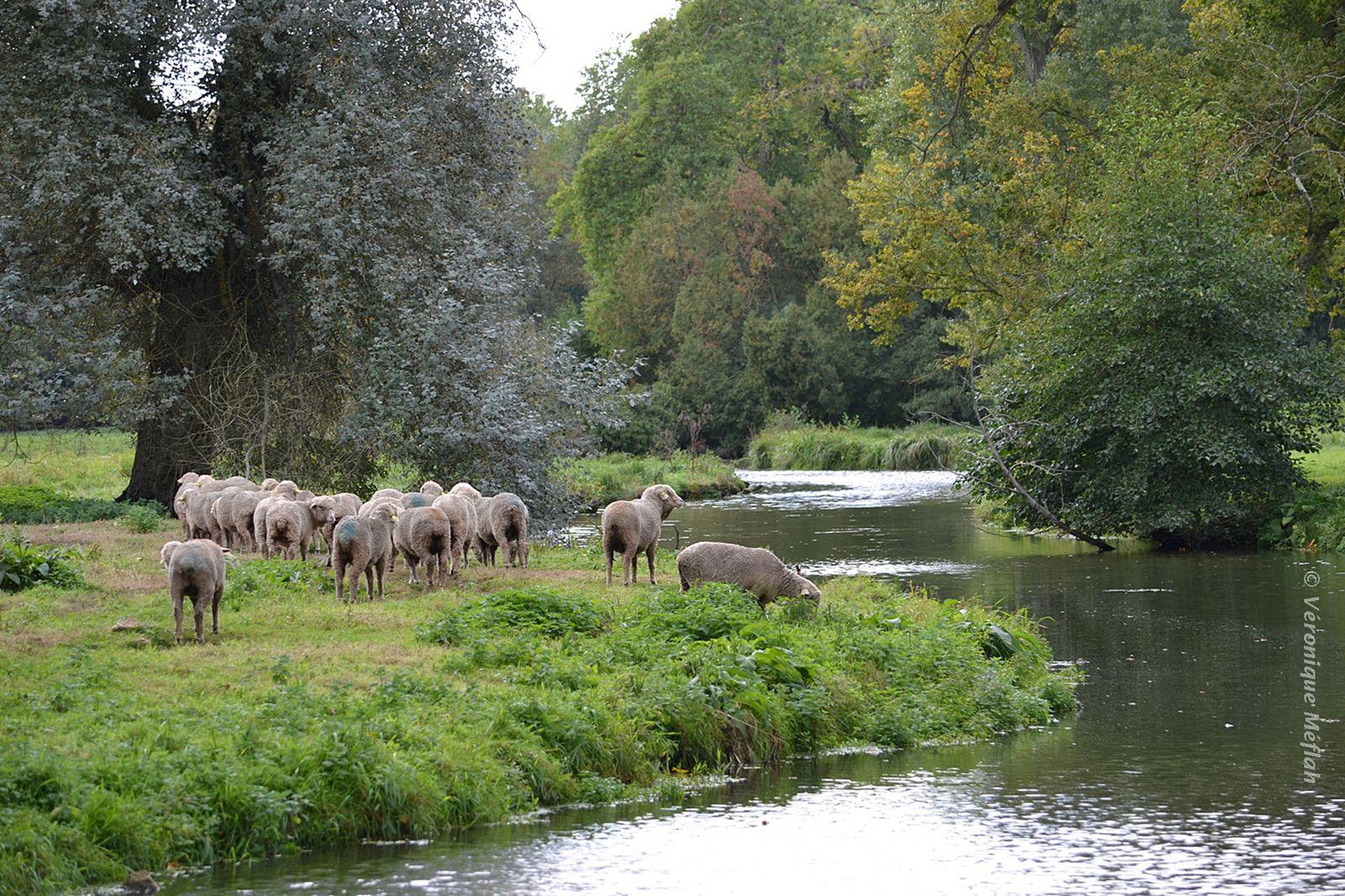 Rambouillet : Une histoire de moutons